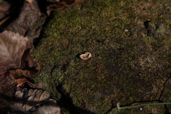 dogwood nut on mossy rock