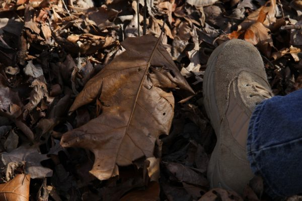 giant oak leaf