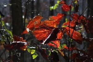 red oak leaves