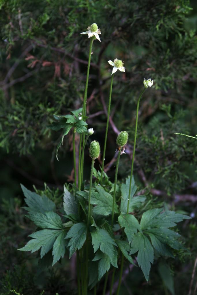 Tall Thimbleweed plant, Anemone virginiana