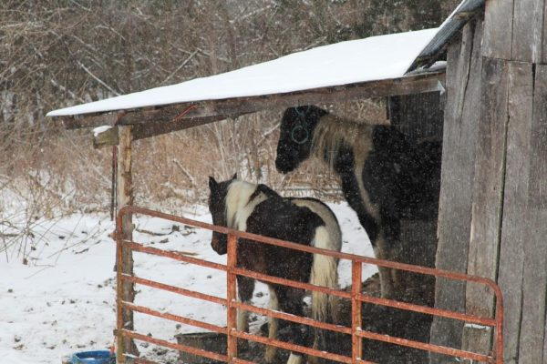 horses under cover in snow