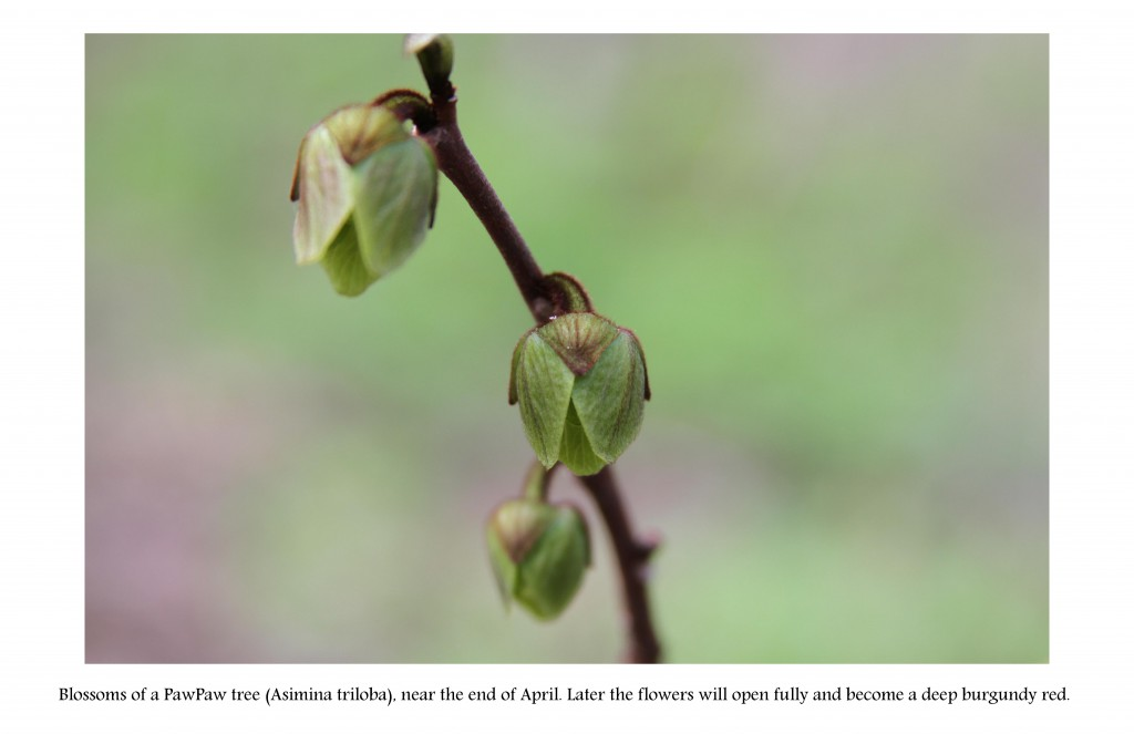 PawPaw flower buds, A page from American Ginseng & Companions