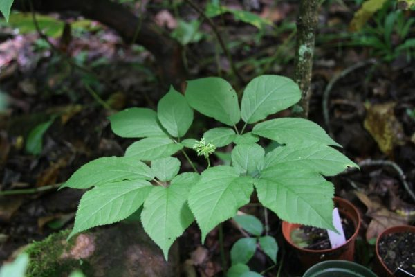 4-prong Ginseng with Flowers and berry