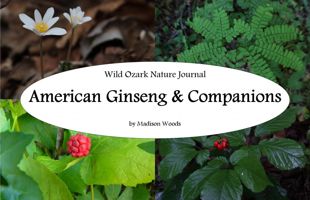 If you're always browsing ginseng articles looking for pictures of ginseng and other plants that live in the same habitat, American Ginseng & Companions by Madison Woods is for you.
