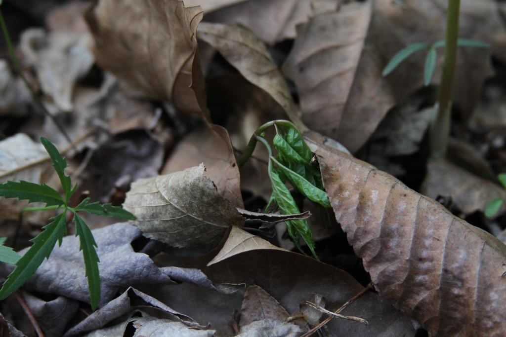 Ginseng unfurling in spring, from article on ginseng stewardship.