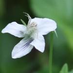 Viola striata flower