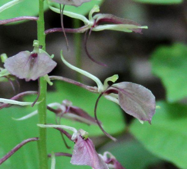 twayblade orchid flower