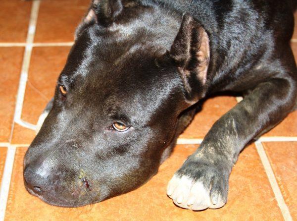Dog bit by rattlesnake.