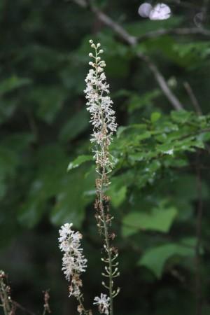 Black Cohosh flower