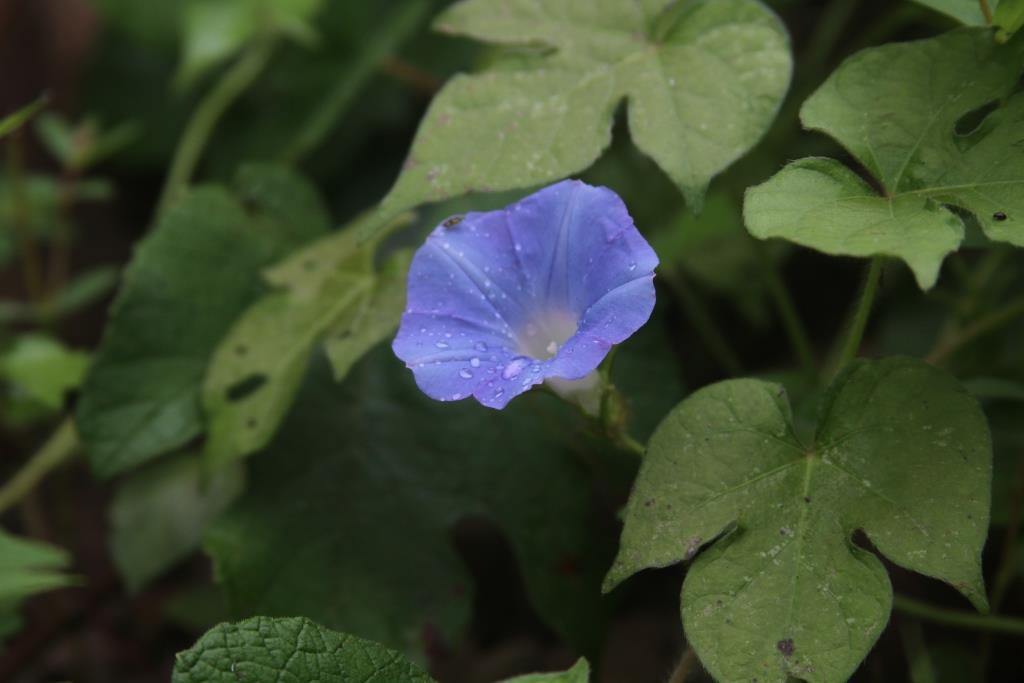 Morning Glory along our long dirt road.