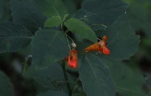 orange-spotted jewelweed
