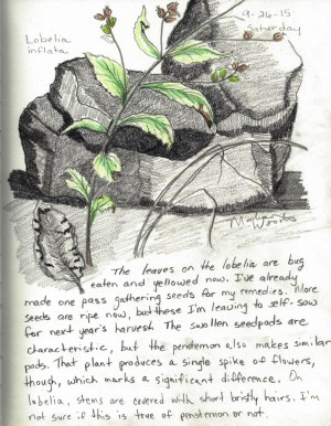 My nature sketching of Lobelia inflata.