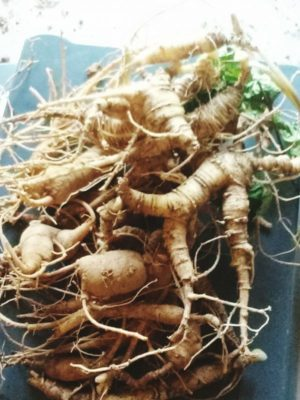 Ohio ginseng roots 2015