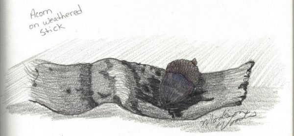 acorn on weathered stick, sketch by madison woods