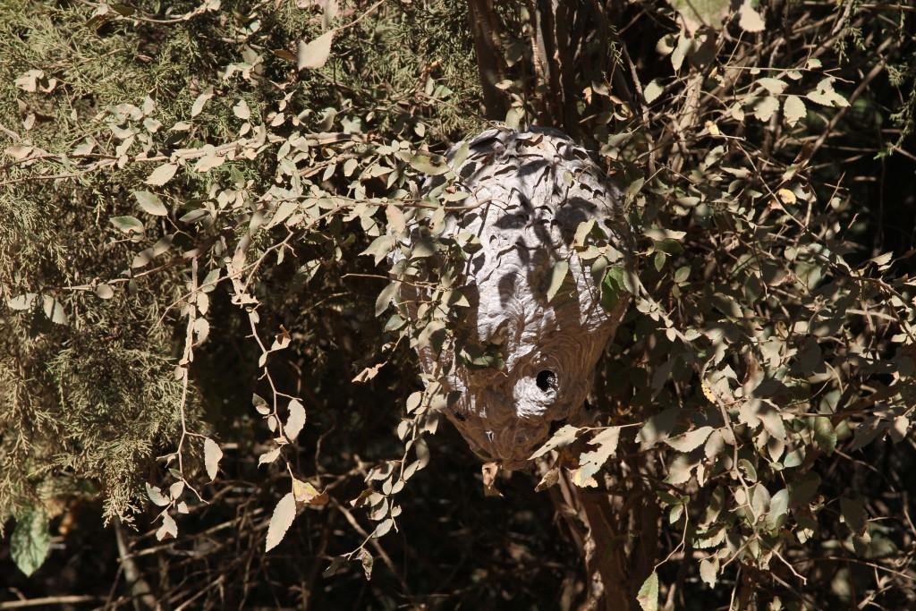 Gigantic hornet's nest along the county road near Wild Ozark.