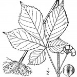 ginseng through the seasons line drawing
