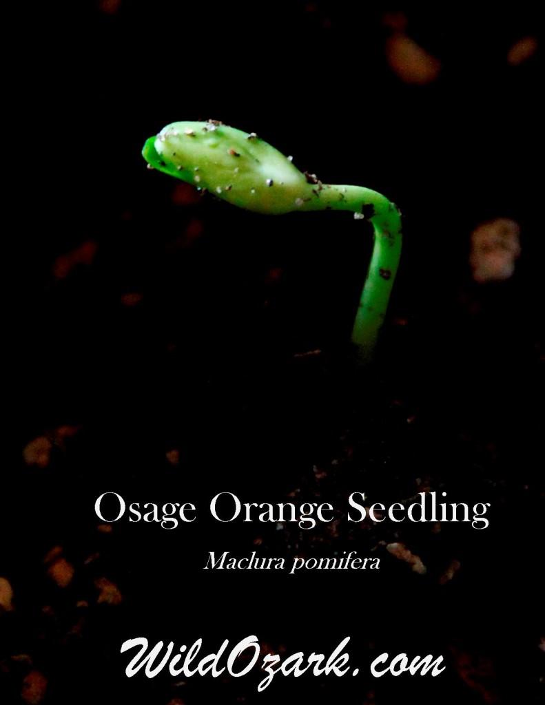 Osage Orange Seedling