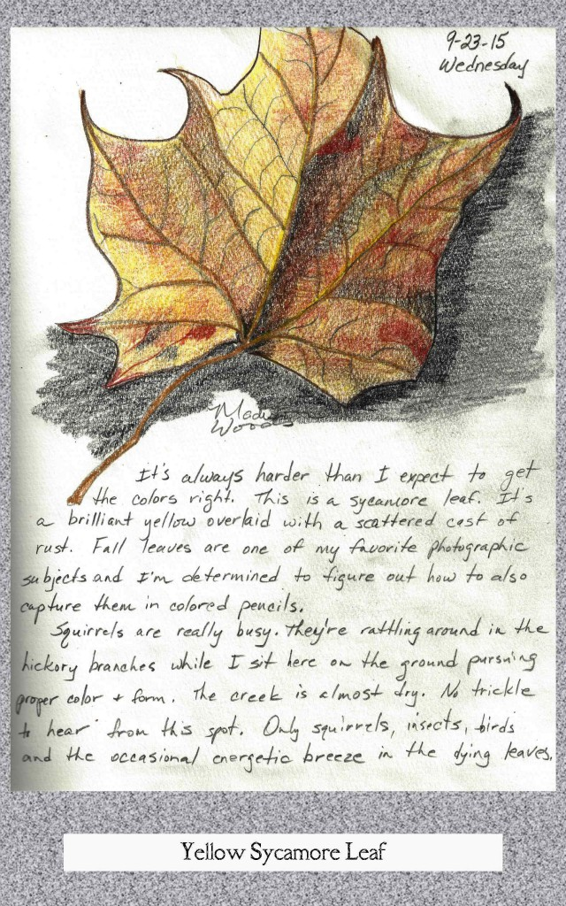 colored pencil sketch of a sycamore leaf in fall