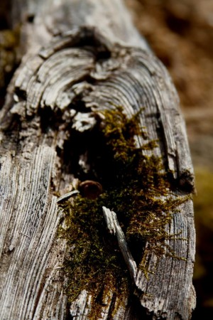 old wood grain with moss