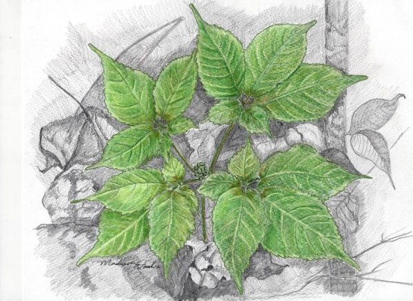 """""""Ginseng in May"""" by Madison Woods, colored pencil on paper"""