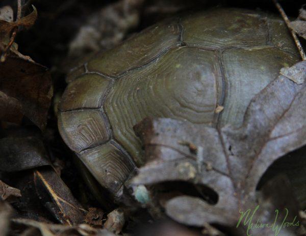 Box Turtle (tortoise)