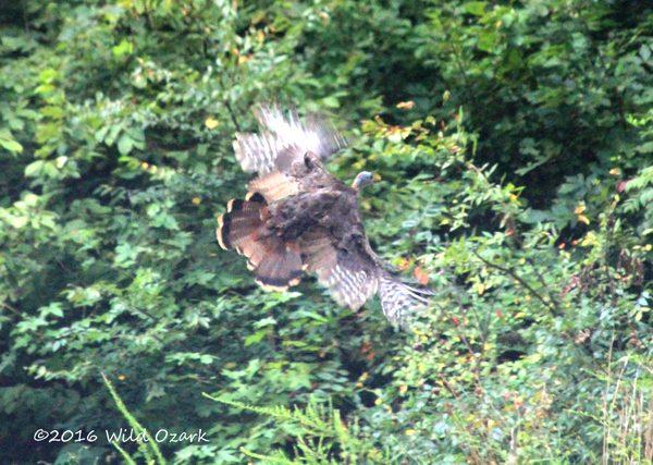 Flying Turkey on the Ozark Backroad