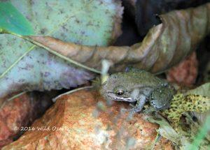 Frog Hiding on an Ozark Backroad