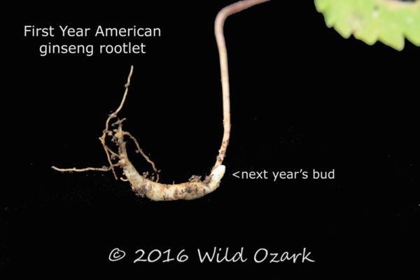 A labeled first year ginseng rootlet from Wild Ozark.