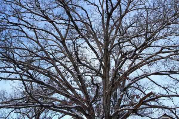Big Oak Crown
