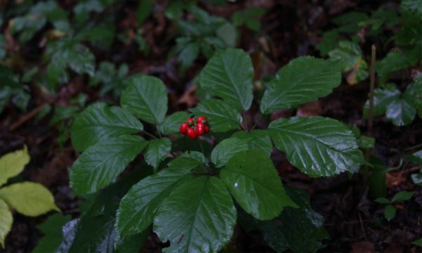 A photo of ginseng with red berries.