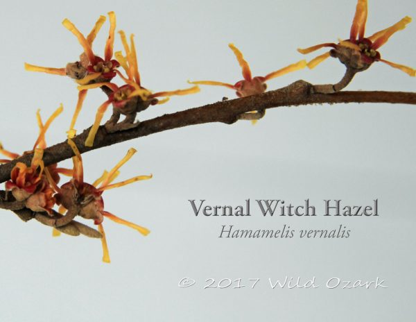 Vernal witch hazel blooming on Feb. 6, 2017