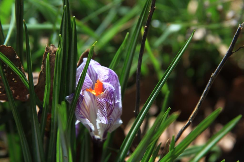 A hopeful crocus unfurling.
