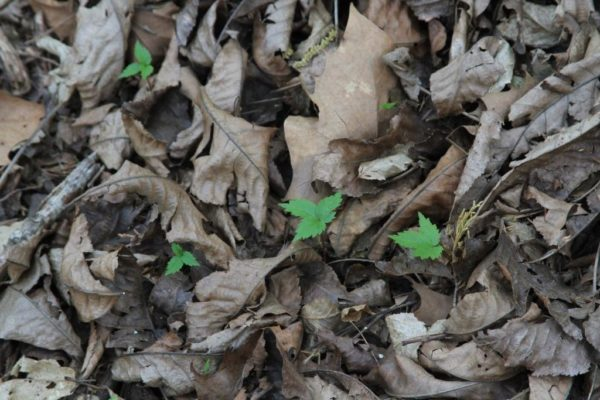 Wild Ozark is the place to buy ginseng seedlings in Arkansas.