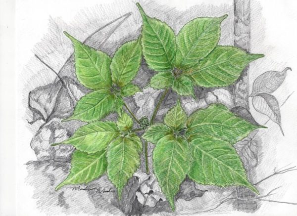 Nature drawing of American ginseng in May by Madison Woods, 2016