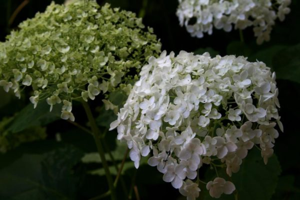 A hybridized version of the wild hydrangea.