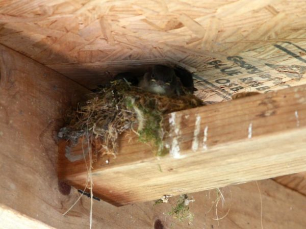 Phoebe fledgling nest mates not too impressed.