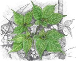 """Ginseng in May"", 8"" x 10"", signed/numbered print."