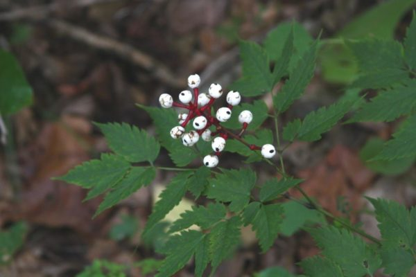 Actaea pachypoda, also called Doll's Eyes or White Baneberry. This is one of the most reliable ginseng habitat indicators here in the Ozarks.
