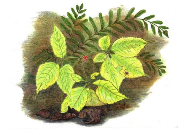 Ginseng in October, in progress
