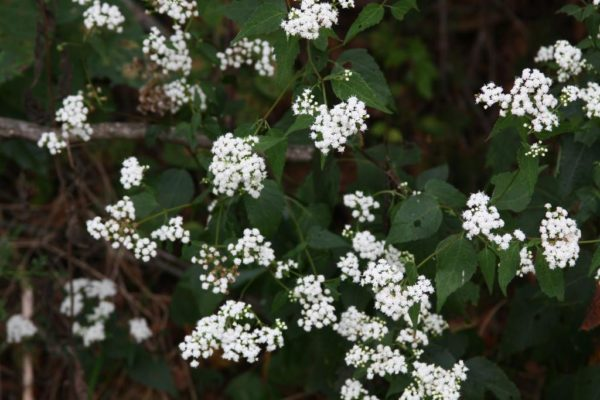 This is the only boneset I've ever found in the Ozarks.