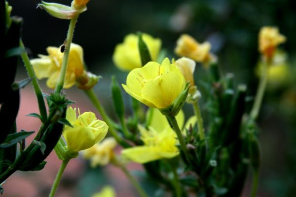 Evening primrose blooming in the morning.