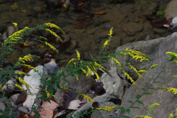 Goldenrods never seem bothered by the droughts.