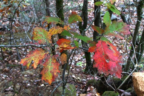 The oak leaves are turning red.
