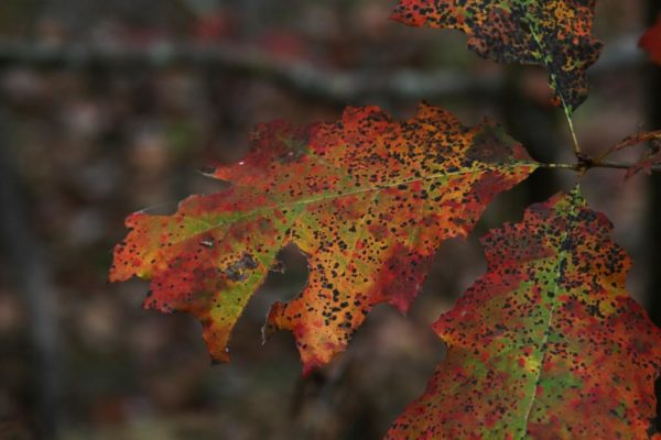 A closer view of the oak leaf. I like the shades of color and the black dots. This is one I think I'll draw when I get some time.