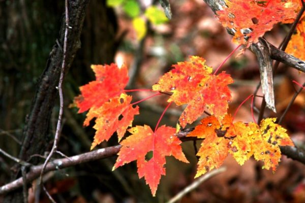 And maples are turning red.