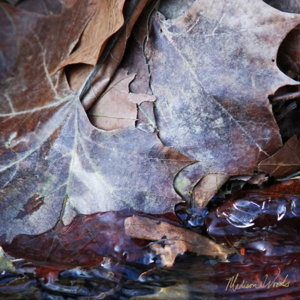 Ice gathering on leaves at water's edge.