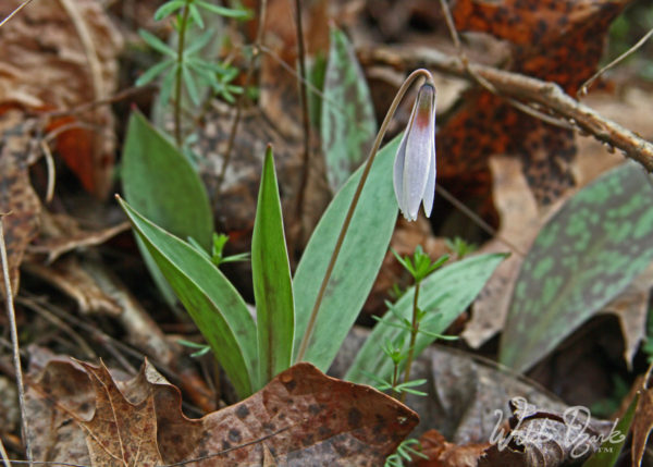One of my favorite native flowers of the Ozarks, Pale Trout Lily (Erythronium albidum)