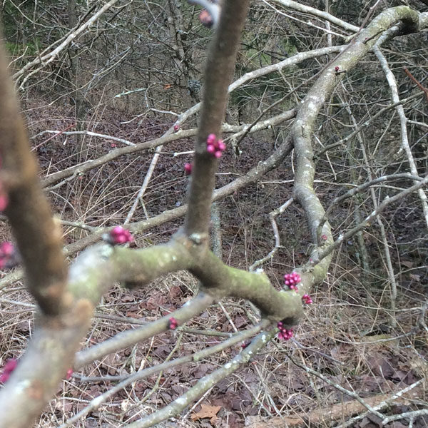 Redbud buds. The flowers bud out and bloom on this tree before the leaves even begin to swell.