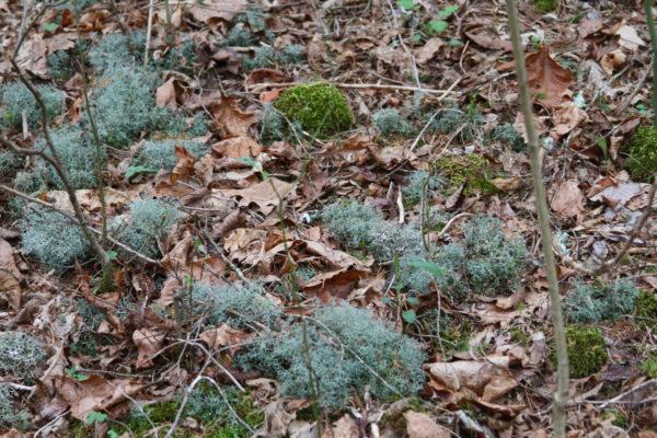 Reindeer moss in the ginseng nursery 2018.