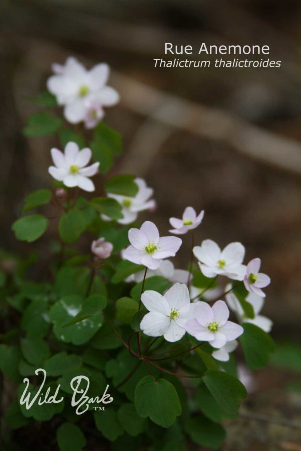 Rue Anemone at the Ginseng Nursery 2018
